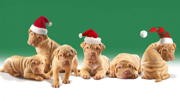 10 Most Adorable Christmas Puppies!