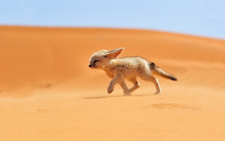 10 Most Adaptive And Sturdy Sahara Desert Animals! 10 Pictures!