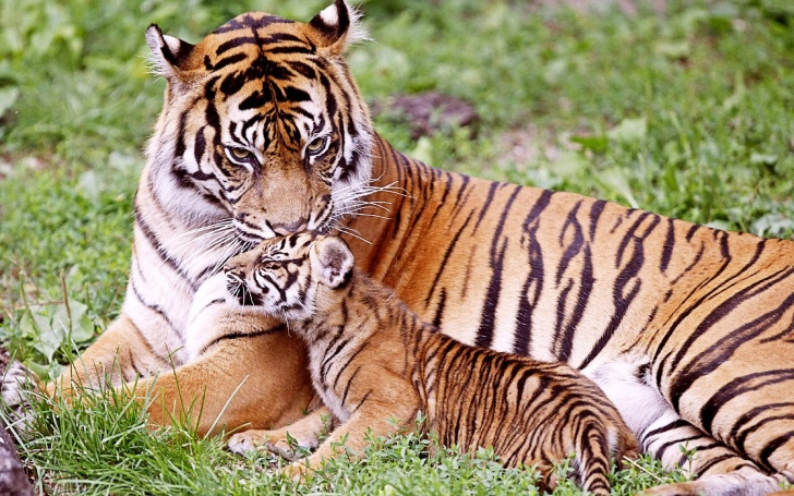 10 Amazing Pics of Tigers: Loving, Majestic and Merciless Cats!