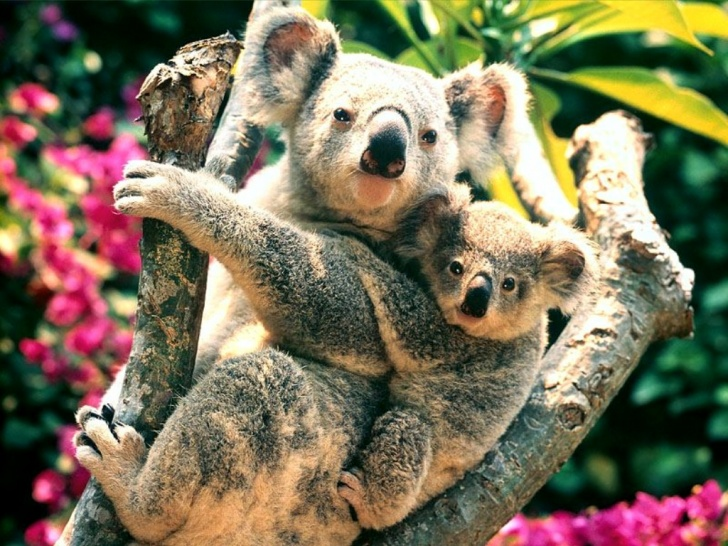 14 Incredibly Funny And Cute Pictures of Koalas!