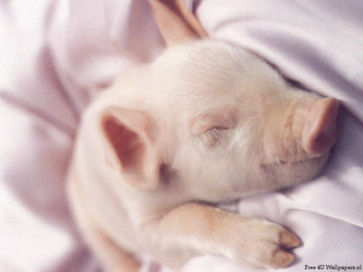 11 Incredibly Cute Piglets To Melt Your Heart!