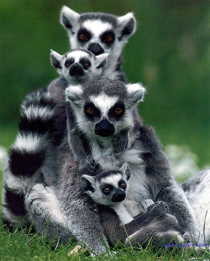 Lemurs: 10 Funny Guys Who Just Don