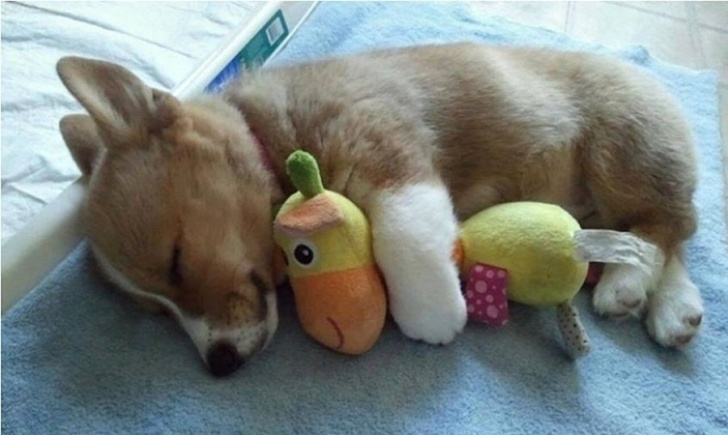 Cute: 13 Adorable Puppies Sleeping With Their Toys!